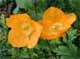 California Poppy (Papaveraceae)