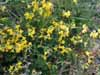 Common Bird's Foot Trefoil (Lotus corniculatus)