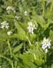 Garlic Mustard (Alliaria pentiolata)