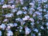 Wood Forget-me -not (Myosotis sylvatica)