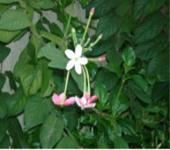 Rangoon Creeper Flower